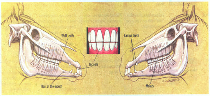 Diagram of Equine Dental Facts